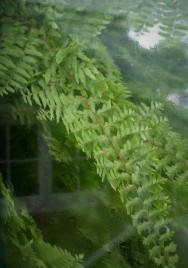 Fern - Looking through the window - West Dean Gardens 2020