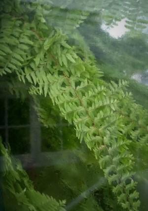 Fern - Looking through the window - West Dean Gardens 2020